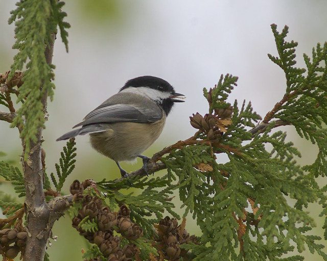 BLack-capped Chickadee (Pockle articapillus) snacking