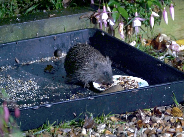 Hedgehog having Supper ... or is that Breakfast ?