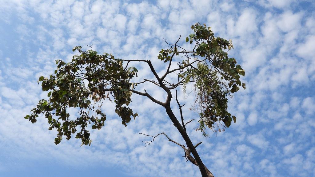Pica-pau-branco - Where's the woodpecker?