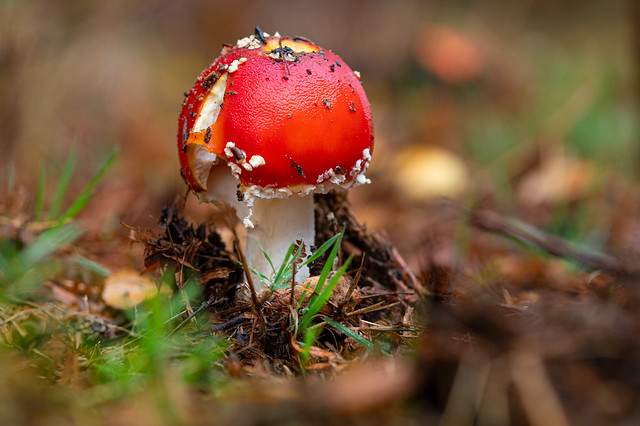 Little red mushroom in the forest