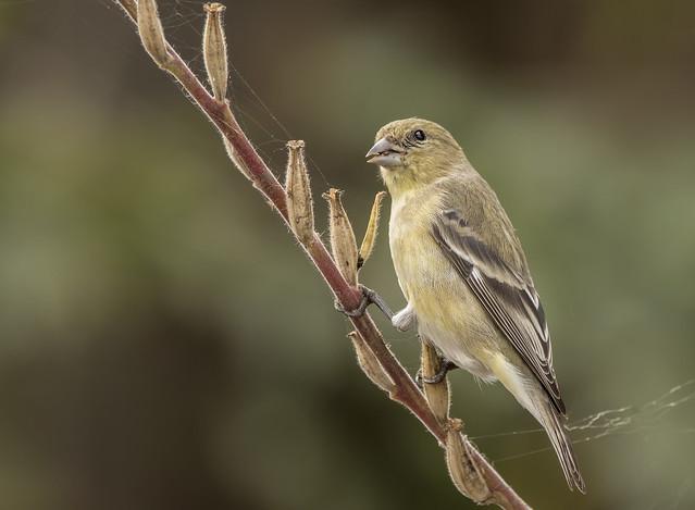 Lesser Goldfinch Eating Evening Primrose Seeds