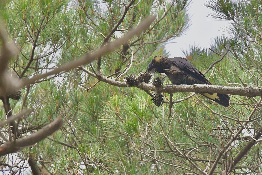Yellow-tailed Black - Cockatoo