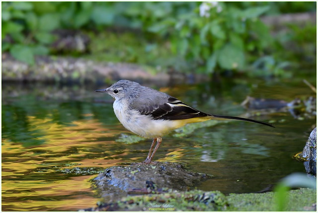 Bergeronnette des ruisseaux ( Motacilla cinerea - Grey wagtail )