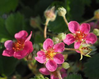 Fragaria x ananassa 'Red Ruby' Wild Strawberry Spring Garden © Walderdbeere Ziererdbeere Frühling Garten ©