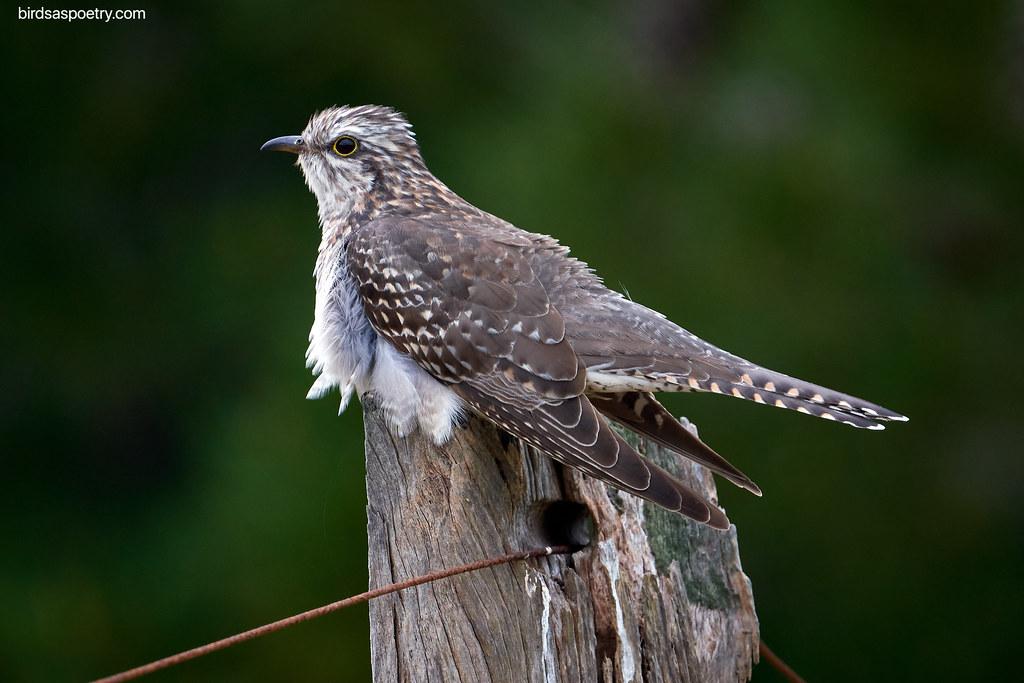 Pallid Cuckoo: Summer Visitor