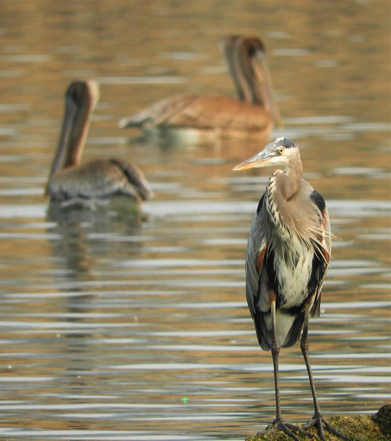 Heron and Pelicans at Princeton Harbor