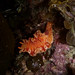 Nudibranch (Sea slug)