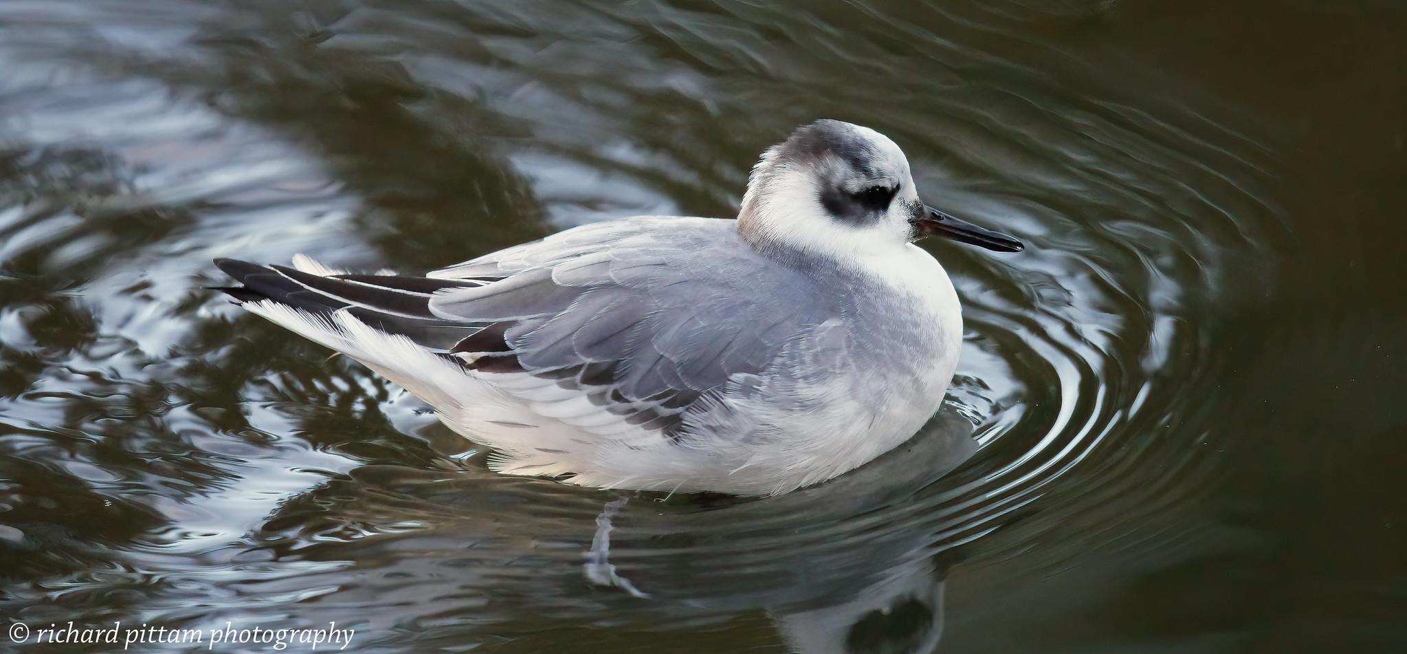 Grey Phalarope - Bakewell, Derbyshire