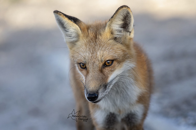 Island Beach State Park - Red Fox