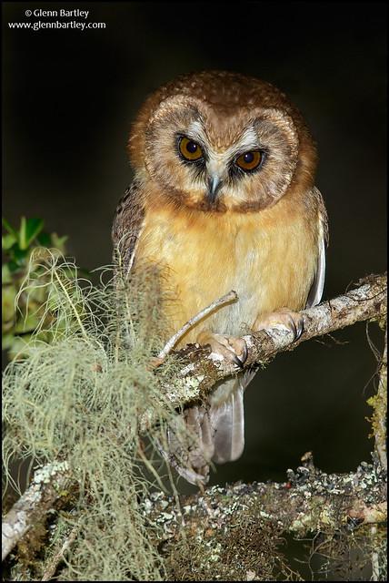 Unspotted Saw-whet Owl (Aegolius ridgwayi)