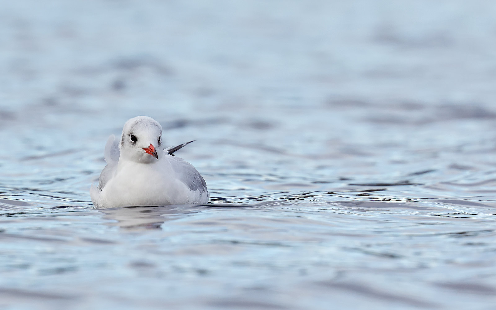 Black-headed Gull - adult winter