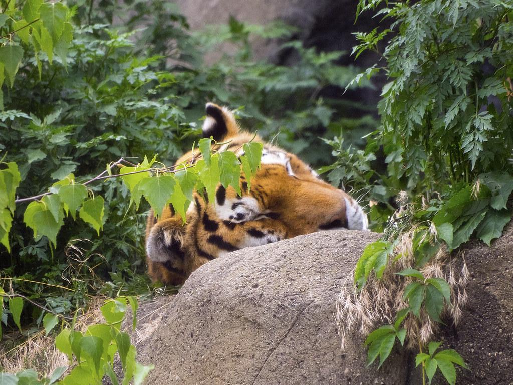 Indianapolis Zoo 07-28-2014 - Amur Tiger