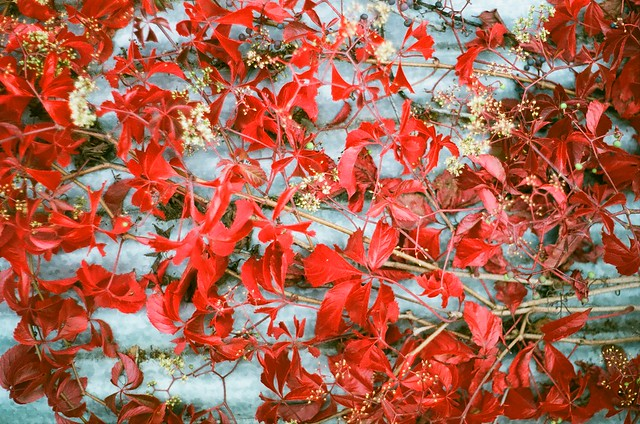 Warm autumn grape leaves on cold metal
