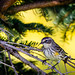 Yellow-rumped Warbler in drab