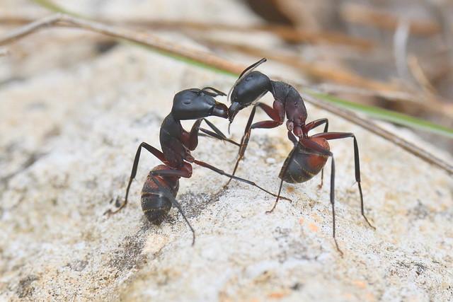 DSC_9128_00033_pn_light2 - Camponotus cruentatus