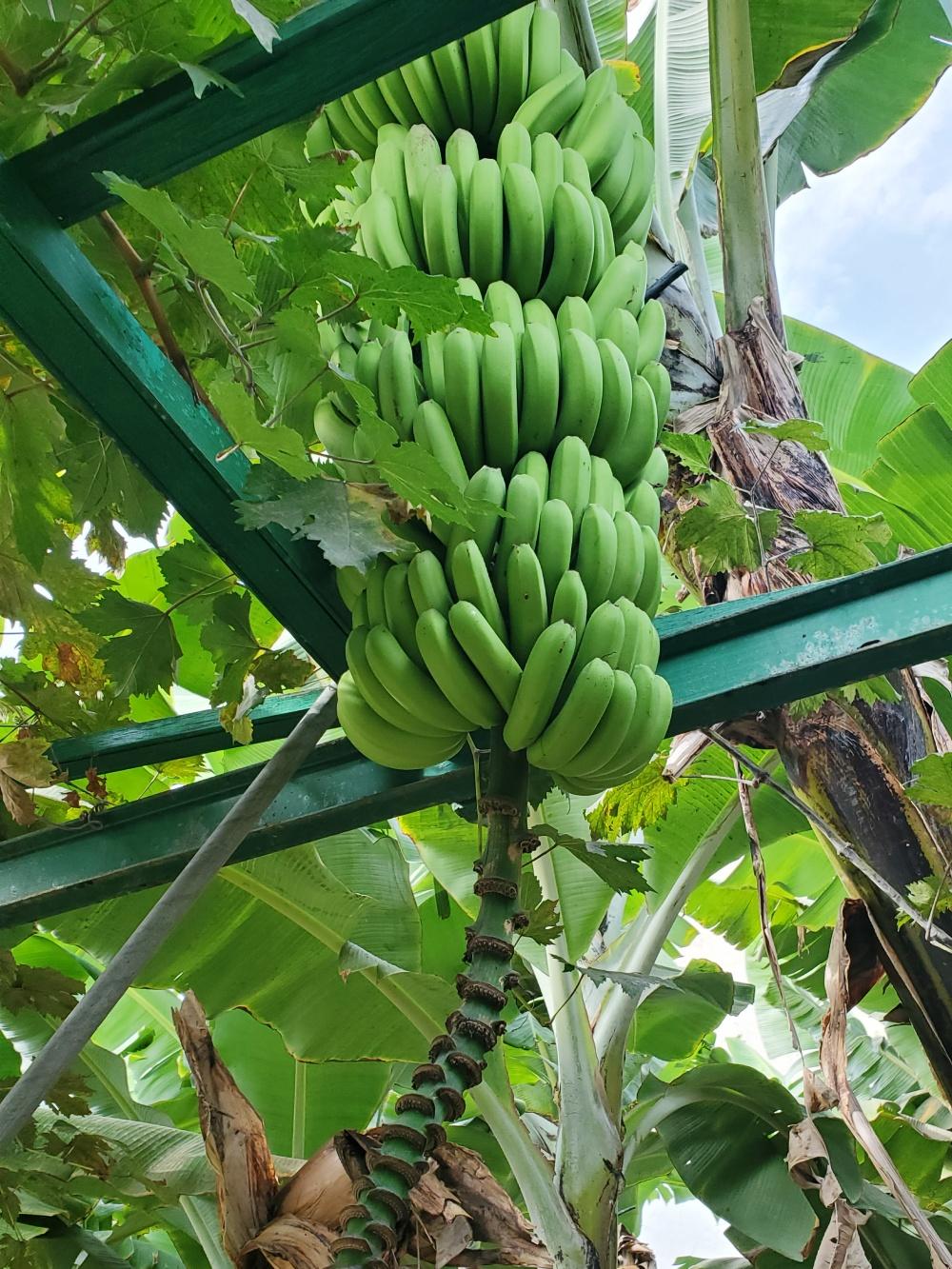 banana plantation Canary Islands