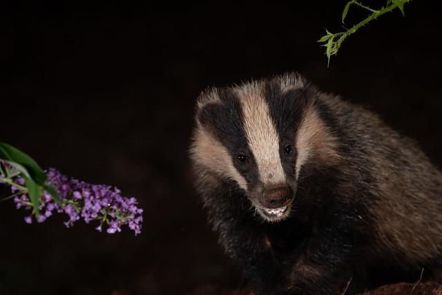 Woodland wildlife, the badger