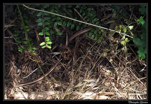 Orvet fragile (Anguis fragilis)