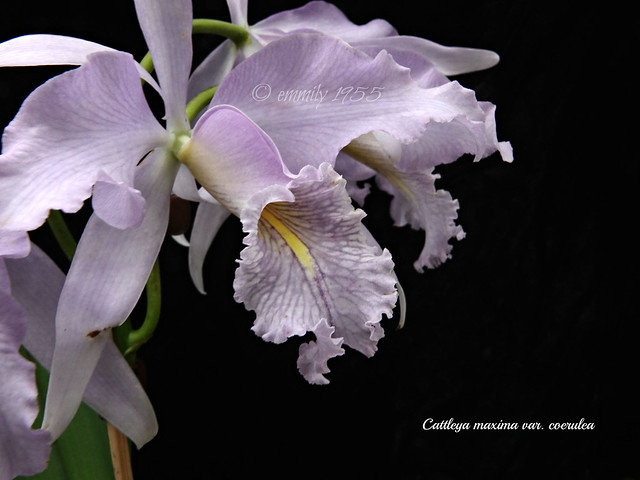Cattleya maxima var. coerulea