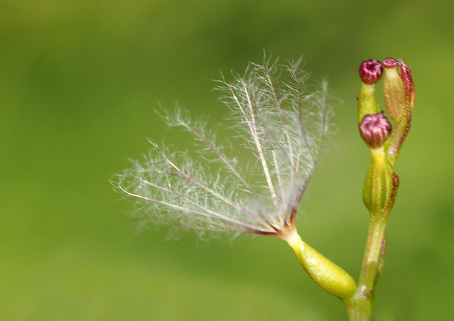 verbena seed