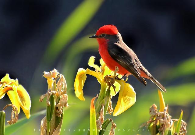 -CHURRINCHE...(  Vermilion Flycatcher..) Pyrocephalus rubinus- en Lirios Amarillos ..toma en RESERVA COSTANERA SUR. RECS. Buenos Aires ..