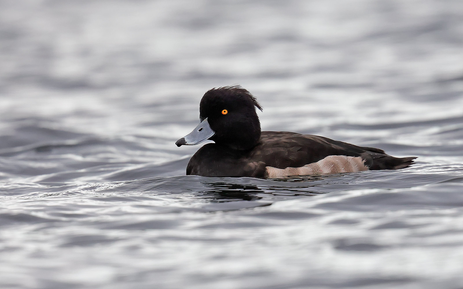 Tufted Duck - 1st winter drake