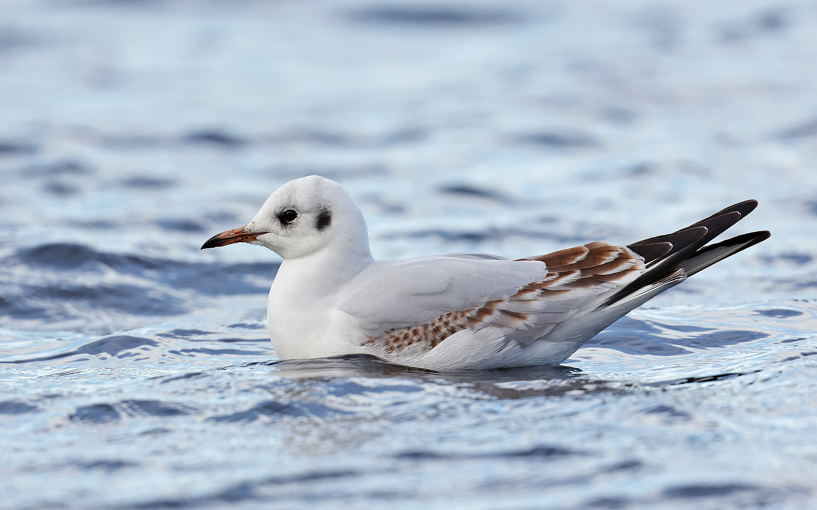 Black-headed Gull 1st winter