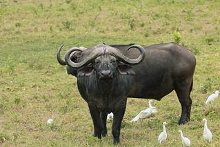 Cape buffaloes, Arusha National Park, Tanzania