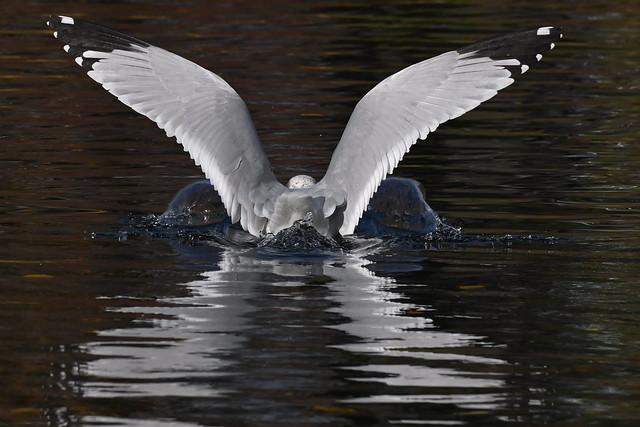 Goéland à bec cerclé amerrissage--Ring-billed Gull splashdown (Larus delawarensis)