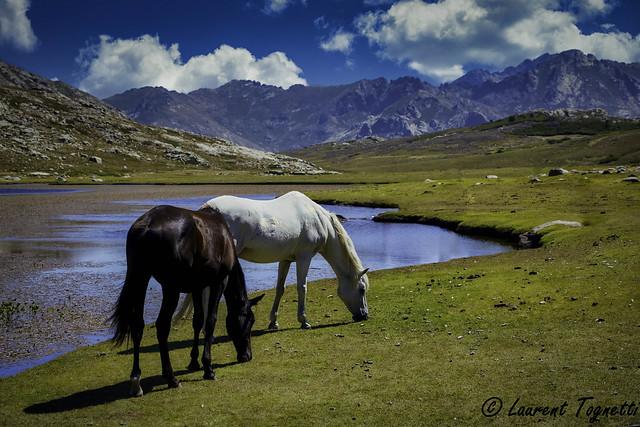 chevaux en liberté au lac de Nino (Corse)