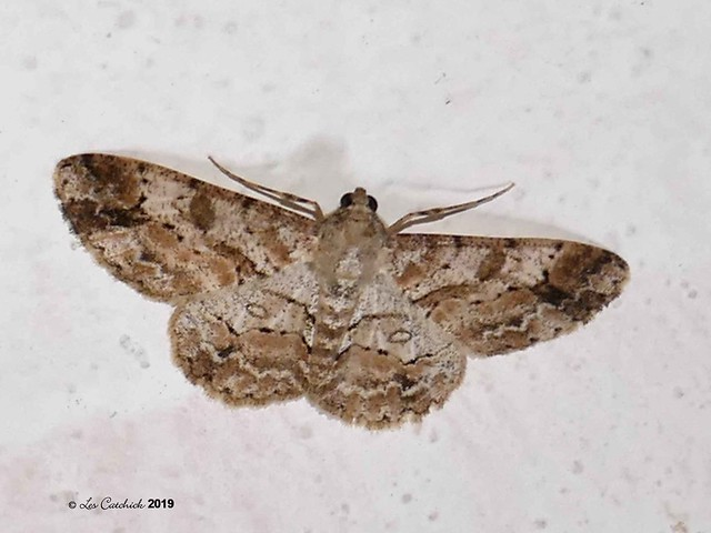 nocturnal moth