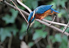 Kingfisher - still watching.