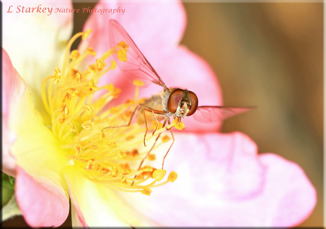 HOVERFLY ON THE SHRUB ROSE
