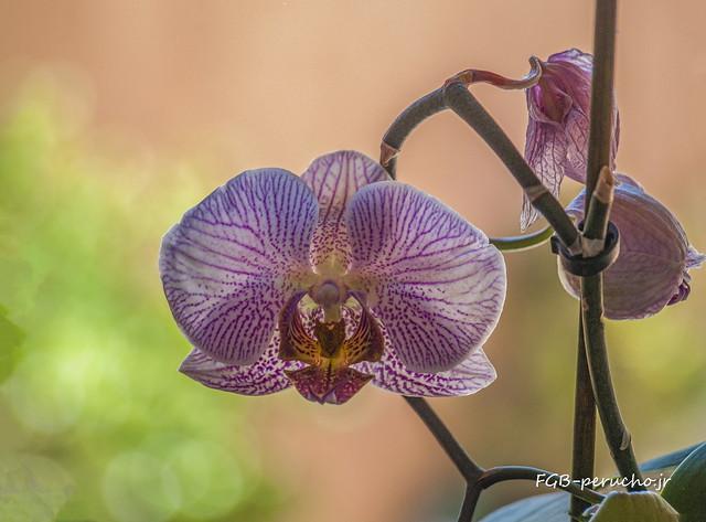 Orquídea-_7110209