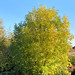 Leaves on the east-side are golden in the sun but still green of the west-side