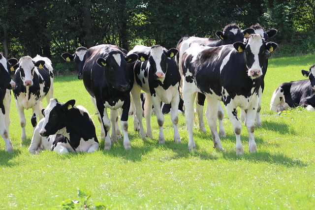 We young Heifers wish  you   a  happy  new  week