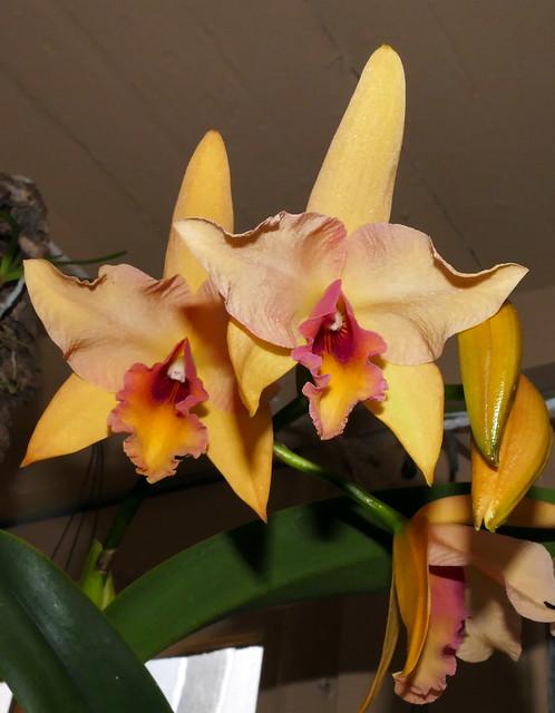 Laeliocattleya Coastal Sunrise 'Sunshine' hybrid orchid 10-20*