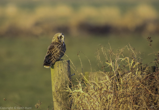 Short Eared Owl in late afternoon sun - (Asio flammeus) - 2 clicks for zoom