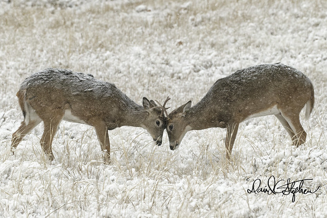 A Couple Of Two-year White-tail Bucks Practice Their Sparing