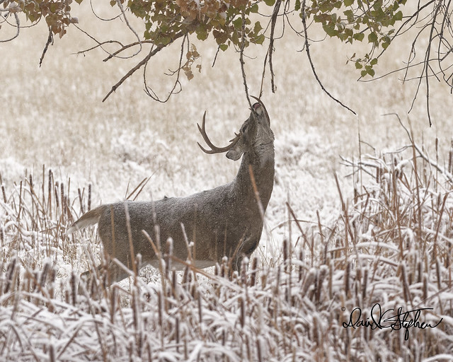 Big White-tail Buck Gets Ready For Run By Marking Limbs