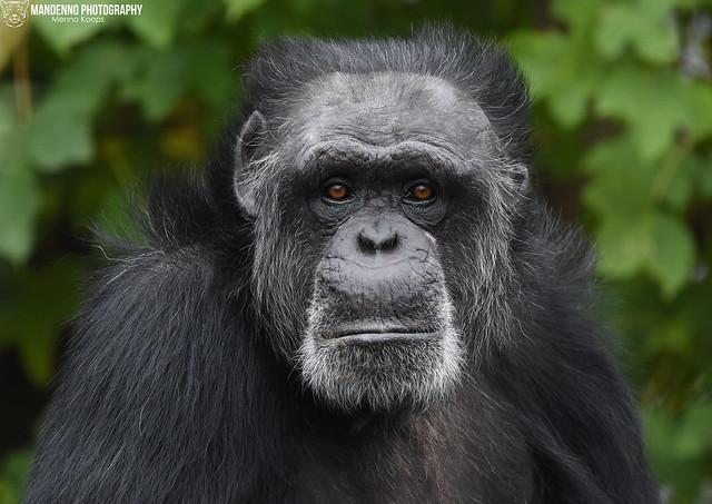 Chimpanzee - Zoo Neuwied