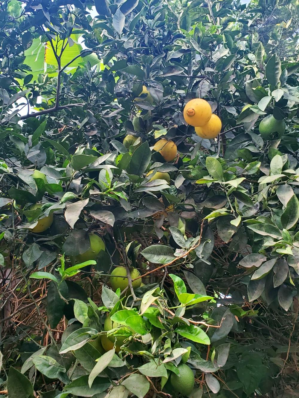 citrus fruit tree