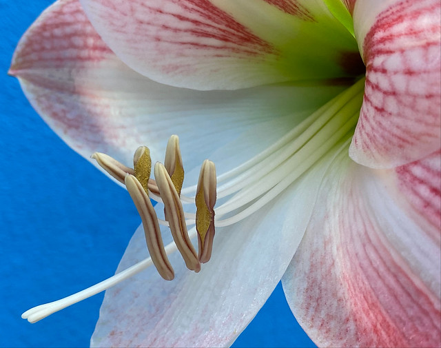 Hippeastrum hybridum 'Apple Blossom' at home.