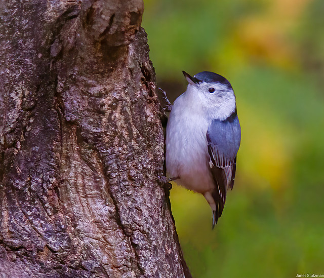 White-breasted Nuthatch says,