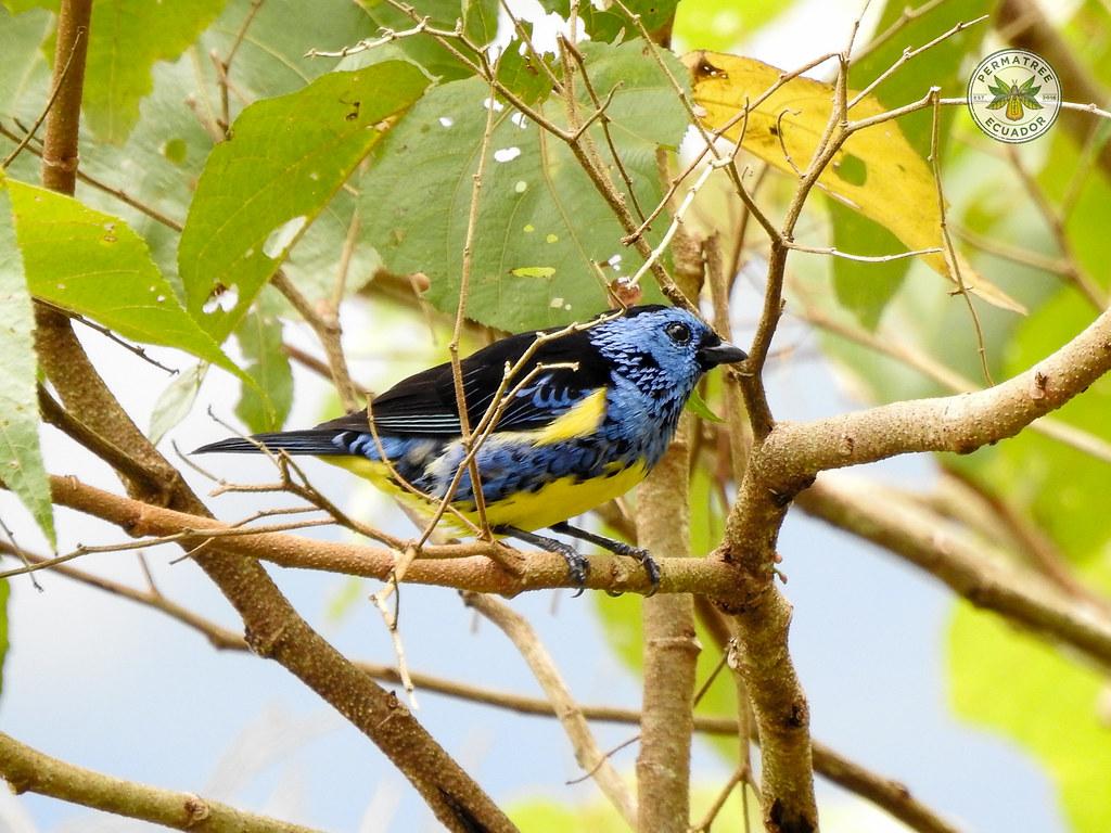 Fauna: Tangara mexicana (Turquoise tanager)