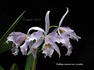 Cattleya maxima var. coerulea | by emmily1955