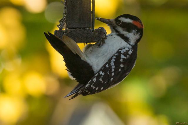 Pic chevelu mâle, Hairy Woodpecker - Québec, Canada - 0359