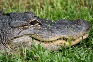 Close up view of an alligator facem showing the eye, mouth and teeth of the reptile, relaxing in the grass | by m01229