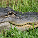 Close up view of an alligator facem showing the eye, mouth and teeth of the reptile, relaxing in the grass