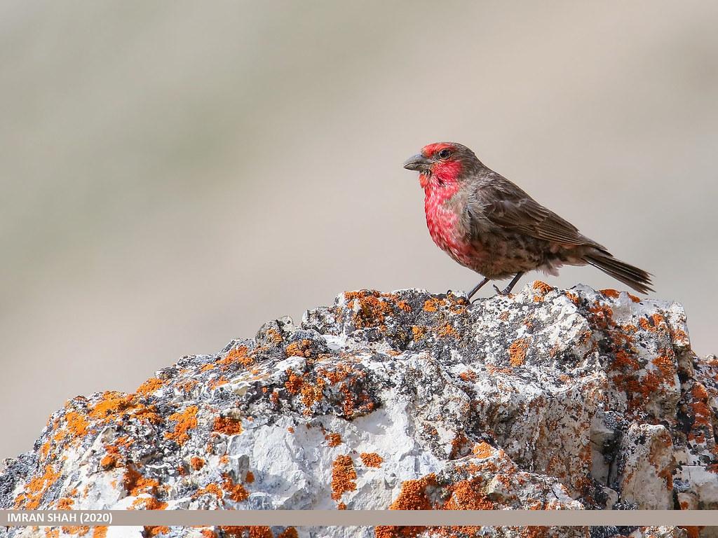 Red-fronted Rosefinch (Carpodacus puniceus)